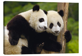 Tableau sur toile  Two young pandas on a tree trunk - Pete Oxford
