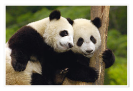 Poster  Two young pandas on a tree trunk - Pete Oxford