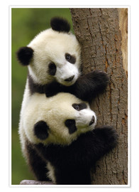Poster  Giant Panda Babies (Ailuropoda melanoleuca) on a tree trunk - Pete Oxford