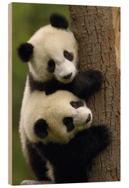 Bois  Giant Panda Babies (Ailuropoda melanoleuca) on a tree trunk - Pete Oxford