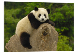 Forex  A panda baby sits on a tree trunk - Pete Oxford