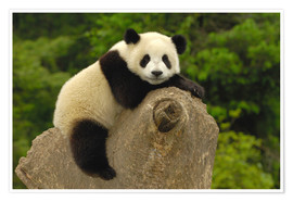 Poster  A panda baby sits on a tree trunk - Pete Oxford