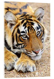 Verre acrylique  Portrait of Royal Bengal Tiger - Jagdeep Rajput