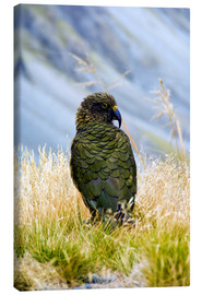 Tableau sur toile  A Kea sitting in the grass - Fredrik Norrsell