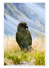 Poster  A Kea sitting in the grass - Fredrik Norrsell