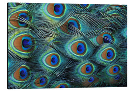 Alu-Dibond  Feathers of a male peacock - Adam Jones
