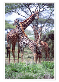Poster  Groupe de girafes - David Northcott