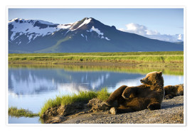 Poster  Brown bear takes a rest - Paul Souders