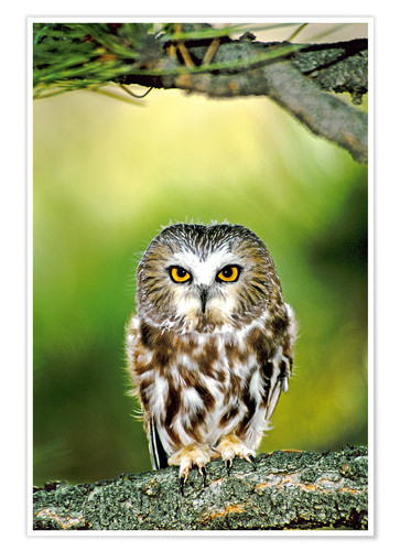 Poster Northern saw-whet owl
