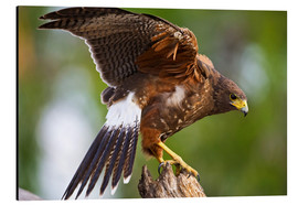 Tableau en aluminium  Harris hawk with outstretched wings - Larry Ditto