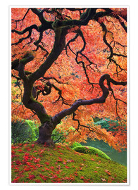 Poster Japanese Maple tree in autumn colors