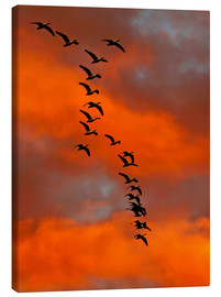 Tableau sur toile  Snow geese flying into the sunset - Cathy & Gordon Illg