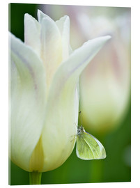 Verre acrylique  Close-up of sulphur butterfly on white tulip - Nancy Rotenberg