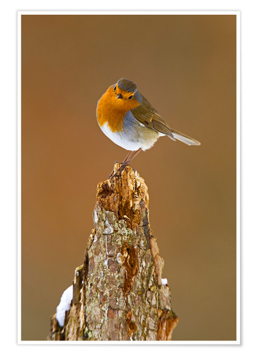 Poster Robin on tree stump in winter