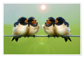 Poster Barn swallows on a wire