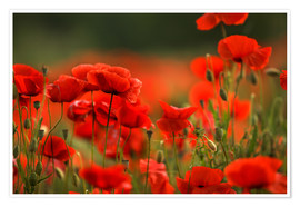 Poster Coquelicots rouges 14