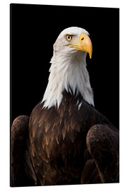 Tableau en aluminium  Bald Eagle - Jan Schuler