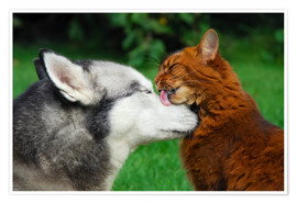 Poster Somali cat gives the muzzle of a Siberian Husky a catlick
