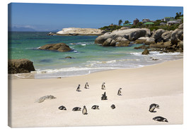 Tableau sur toile  Penguins at Boulders Beach - Paul Thompson