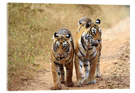 Verre acrylique  Royal Bengal Tigers on the track - Jagdeep Rajput