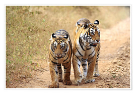 Poster  Royal Bengal Tigers on the track - Jagdeep Rajput