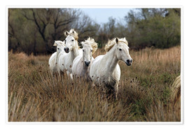 Poster  Camargue horses in the marsh - Adam Jones