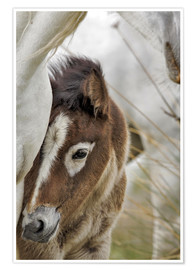 Poster Camargue horse foal, southern France