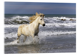 Verre acrylique  Camargue horse in the surf - Adam Jones