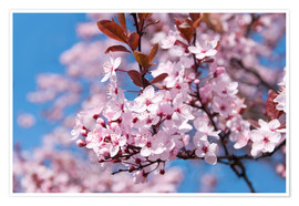 Poster pink cherry blossom