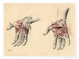 Poster  The Upper Limb. Superficial and Deep Views of the Palm of the Hand - G. H. Ford