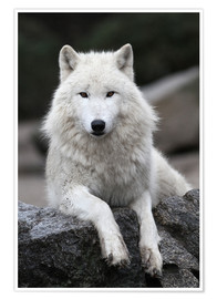 Poster  Le loup blanc - WildlifePhotography