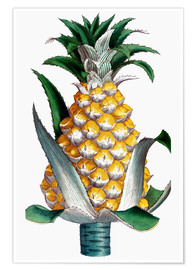 Poster  Pineapple, 1789.