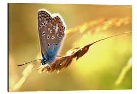 Tableau en aluminium  Butterfly in late summer - Julia Delgado