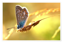Poster  Butterfly in late summer - Julia Delgado