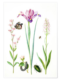Poster  Red catchfly, rose, iris & orchis - Maria Sibylla Merian