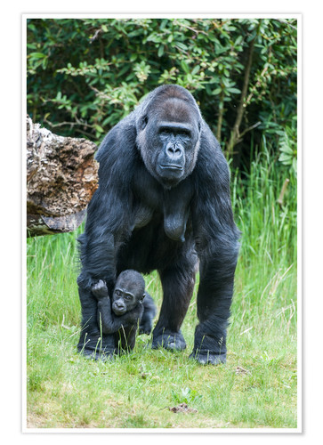 Poster Mama Gorilla with Baby Gorilla