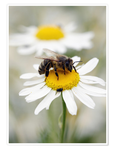 Poster Bee on the camomile lawn