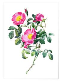 Poster Roses miniatures