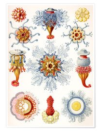 Poster Siphonophores
