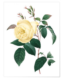 Poster Rose du Bengale