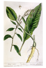 Tableau en verre acrylique  Horseradish, plate 415 from 'A Curious Herbal', published 1782 - Elizabeth Blackwell