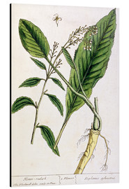 Tableau en aluminium  Horseradish, plate 415 from 'A Curious Herbal', published 1782 - Elizabeth Blackwell