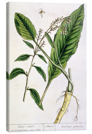 Toile  Horseradish, plate 415 from 'A Curious Herbal', published 1782 - Elizabeth Blackwell