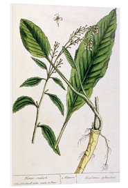 Tableau en PVC  Horseradish, plate 415 from 'A Curious Herbal', published 1782 - Elizabeth Blackwell