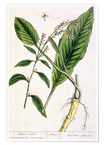 Poster Horseradish, plate 415 from 'A Curious Herbal', published 1782