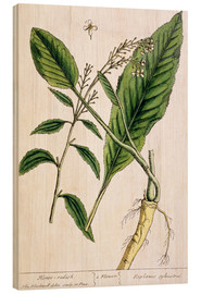 Tableau en bois  Horseradish, plate 415 from 'A Curious Herbal', published 1782 - Elizabeth Blackwell
