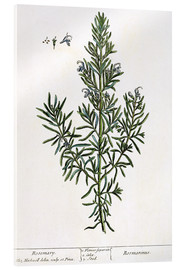 Verre acrylique  Rosmarinus Officinalis, from 'A Curious Herbal', 1782 - Elizabeth Blackwell