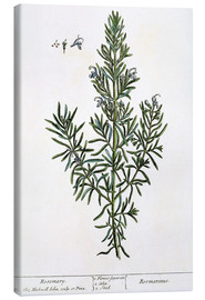Toile  Rosmarinus Officinalis, from 'A Curious Herbal', 1782 - Elizabeth Blackwell