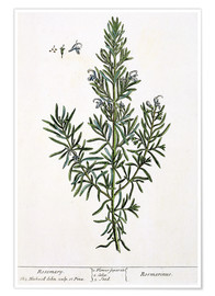 Poster  Rosmarinus Officinalis, from 'A Curious Herbal', 1782 - Elizabeth Blackwell