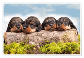 Poster Dachshund puppy siblings